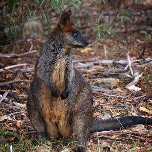 Checking on the kid    A female Swamp Wallaby