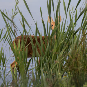 Chinese Water Deer Hydropotes inermis Titchwell Norfolk 26/07/15