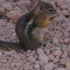 Chipmunk (Eutamius umbrinus? Uinta Chipmunk)