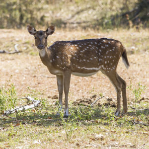 Chital (Spotted Deer, Axis Deer) - Female