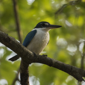 Collared Kingfisher - Baluran NP - East Java_MG_7941