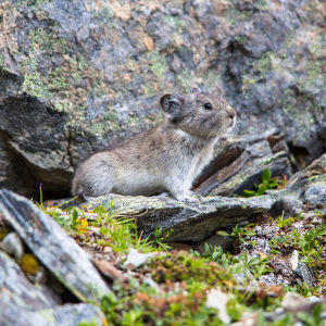 Collared Pika (2) - Ochotona collaris