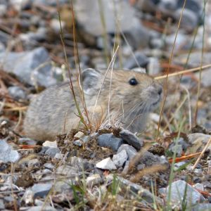 Collared Pika.  Ochotona collaris