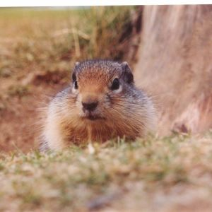 Columbian Ground Squirrel in the Canadian Rockies