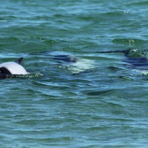 Commerson's Dolphins off Saunders Island