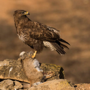 Common Buzzard with carrion - Catalonia - Spain_MG_5286