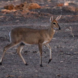 Common Duiker, Sylvicapra grimmia - just before the light was gone