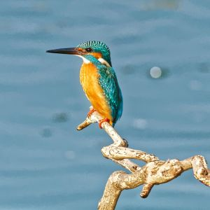 Common Kingfisher Standing on Liuhua Lake