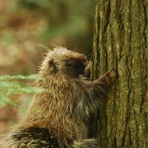 Common Porcupine (Erethizon dorsatum)