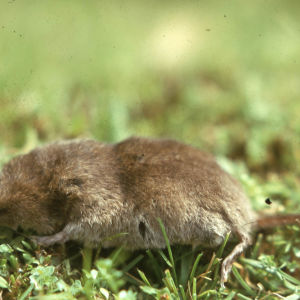 Common Shrew in Cwmdare Country Park. Cynon Valley 1973