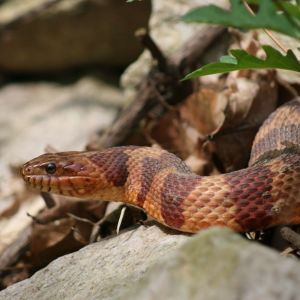 Corn snake 2010 (actually a Northen Water Snake, N. S. williamengelsi)