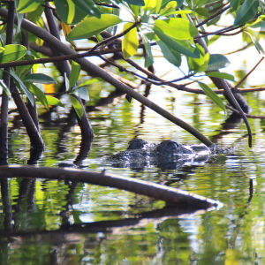 Crocodile 3 - Blackbird Caye - Belize 2016