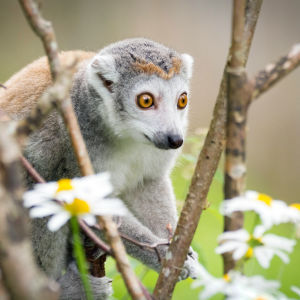 Crowned Lemur In Branches