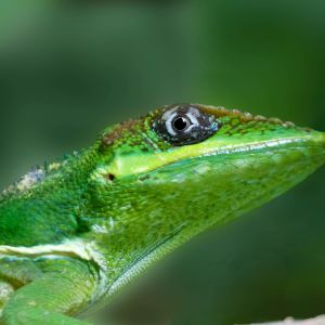 Cuban Knight Anole: 20 inches long