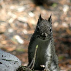 Abert's Squirrel - Facts, Diet, Habitat & Pictures on