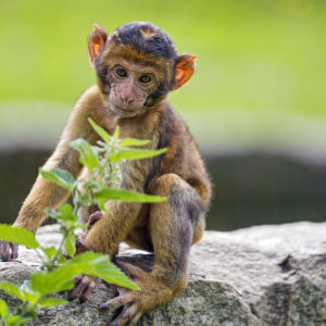 Cute macaque baby and plant