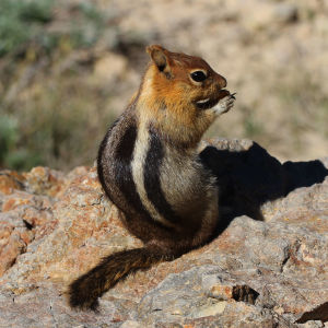 Day 180 - Golden-mantled Ground Squirrel - Callospermophilus lateralis, Lassen Volcanic National Park, California