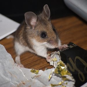 Deer mouse hitting the chocolate jackpot