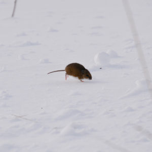 Deer Mouse (Peromyscus sp.)