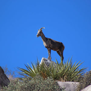 Desert Bighorn (Ovis canadensis nelsoni) Stands on a Rock