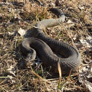 Diamondback Water Snake