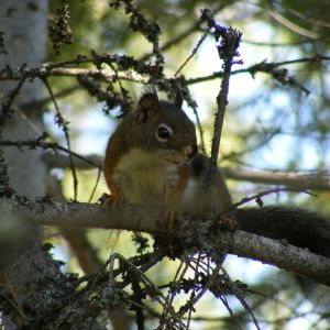Douglas squirrel (Tamiasciurus douglasii) on branch, frontal