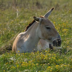 DSC_0683Persian Onager