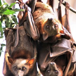 Little Red Flying Fox photo