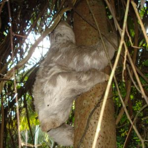 Pale-Throated Three-Toed Sloth photo