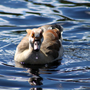 Egyptian goose and water droplet