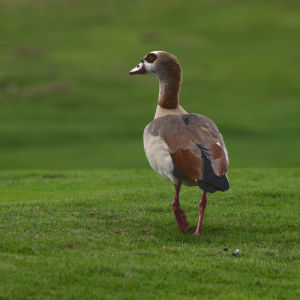 egyptian goose IV Plantation Preserve Linear Trail