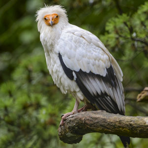 Egyptian vulture on the branch
