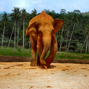ELEPHANTS OF SRI LANKA. 1