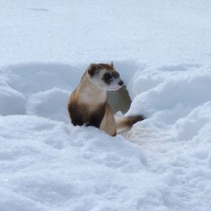 Endangered Black-footed Ferret