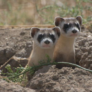 Endangered Black-Footed Ferrets