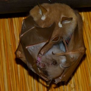 Epauletted Fruit Bat (Epomophorus wahlbergi or crypturus)