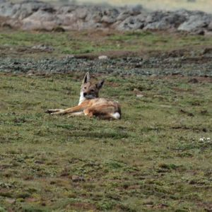 Ethiopian wolf, Sanetti Plateau, Bale Mountains National Park (1)