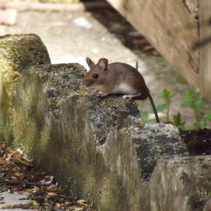 European wood mouse