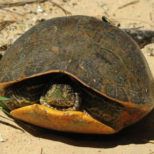 Alabama Red-Bellied Turtle photo