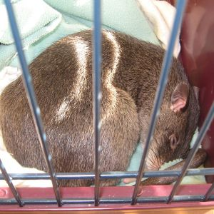 Gambian Pouched Rat photo