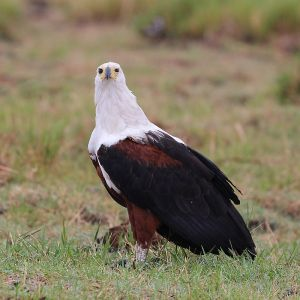 African Fish Eagle photo
