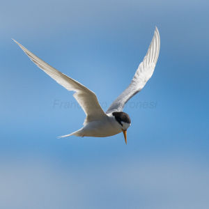 Fairy Tern - New Zealand_FJ0A9096
