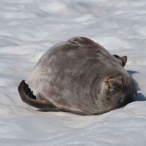 fat weddell seal