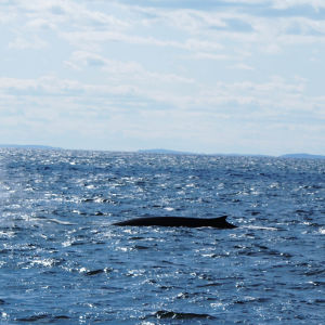 Fin Whales off the New Hampshire Coast