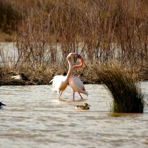 Flamencos - Flamencs - Great flamingo - Phoenicopterus ruber