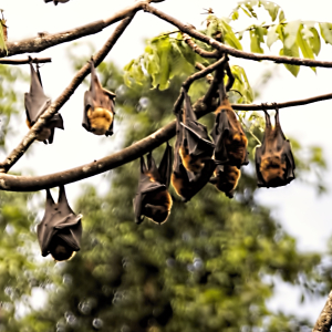 Flying Foxes Philippines