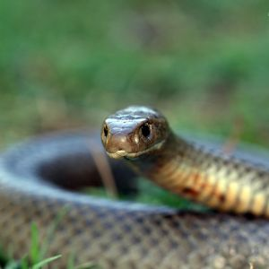 Eastern Brown Snake photo