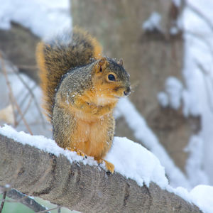 Fox Squirrel In Snow
