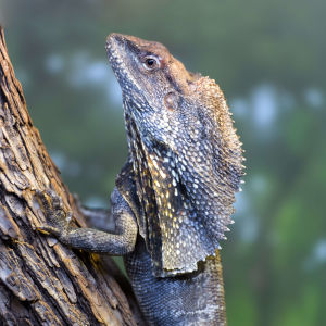 Frill Necked Lizard on a Tree