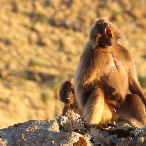 Gelada Baboons in Simien mountains